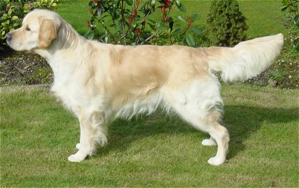 Image result for golden retriever tail